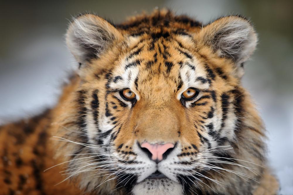 Амурский тигр боится леопарда?