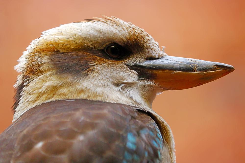 В Австралии живет птица, которая смеется как кинозлодей