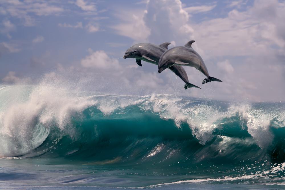 Дельфины научились добывать наркотики из ядовитых рыб