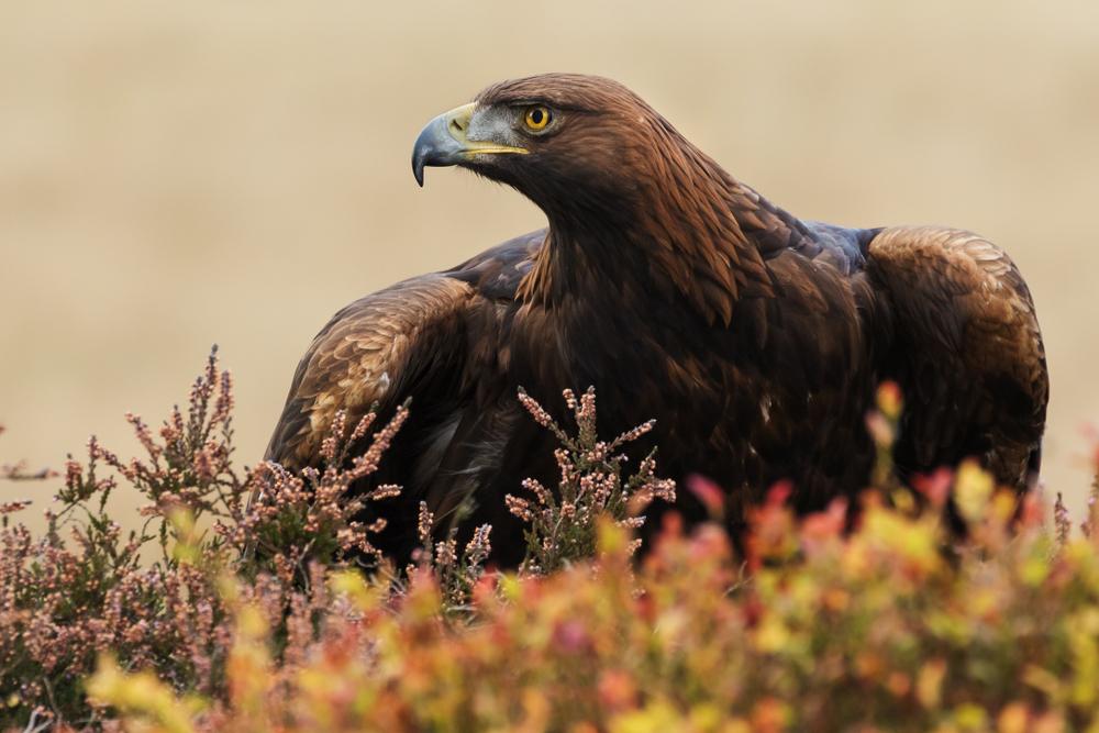Возвращение золотого орла: зоологи Британии восстанавливают популяцию исчезнувших птиц