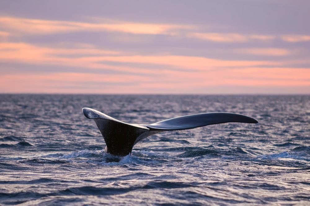 Северные гладкие киты оказались на грани вымирания