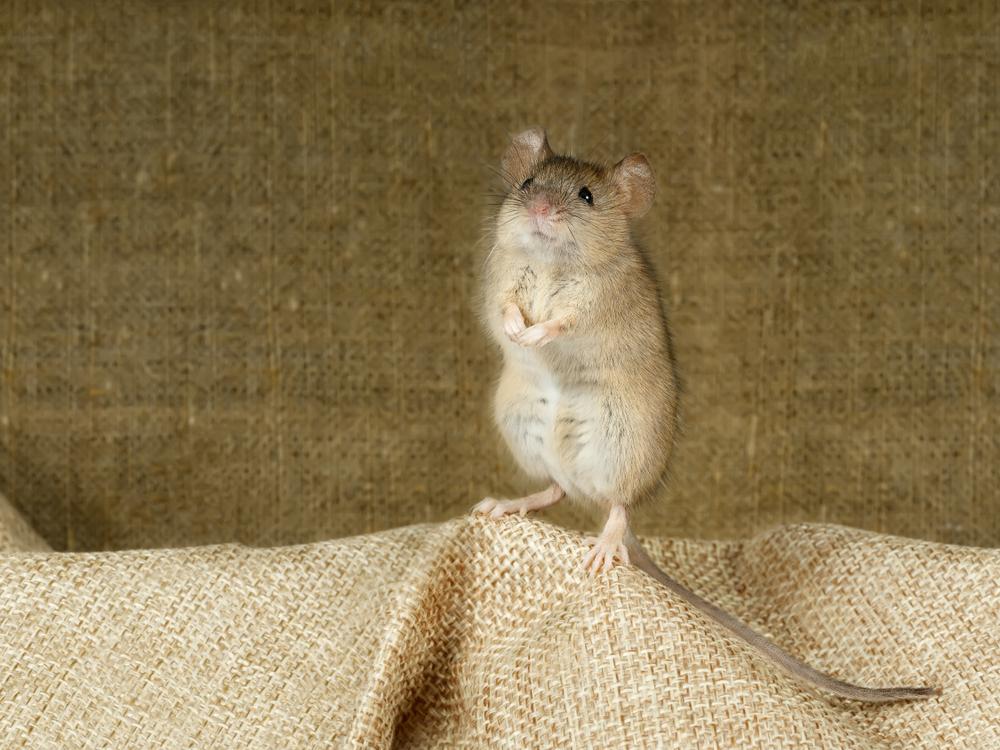 Ученые предлагают опасный способ борьбы с городскими крысами