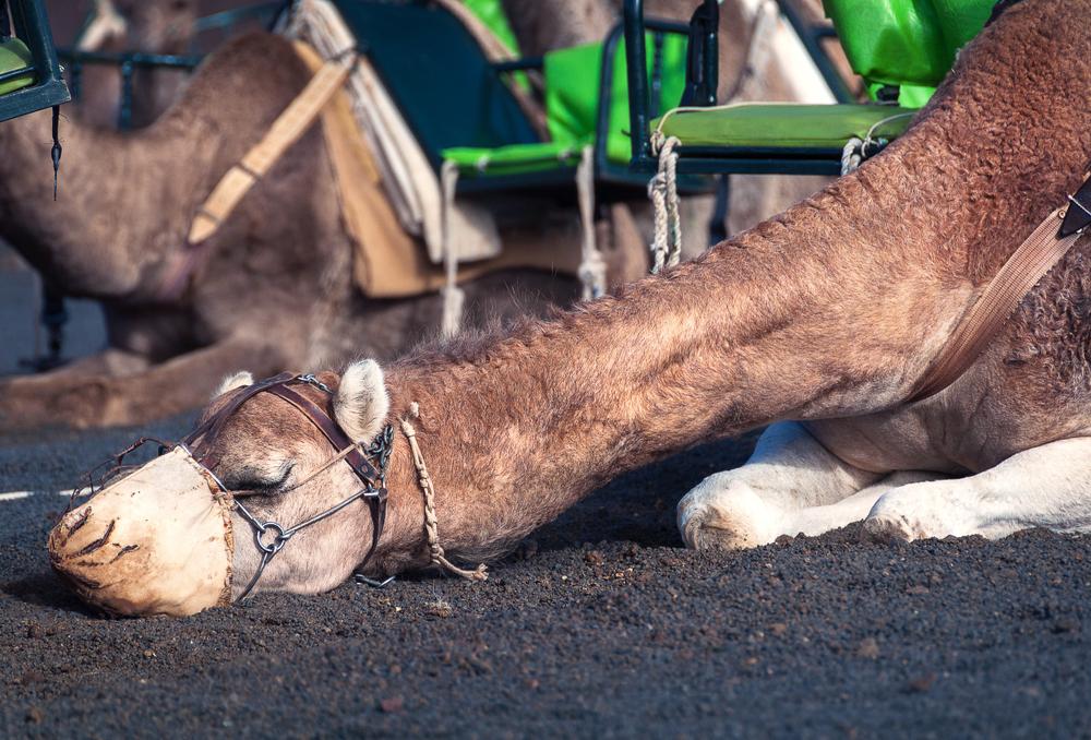 В Дубае открылся первый в мире госпиталь для верблюдов.Вокруг Света. Украина