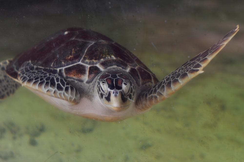 В США морская черепаха запуталась в кокаине