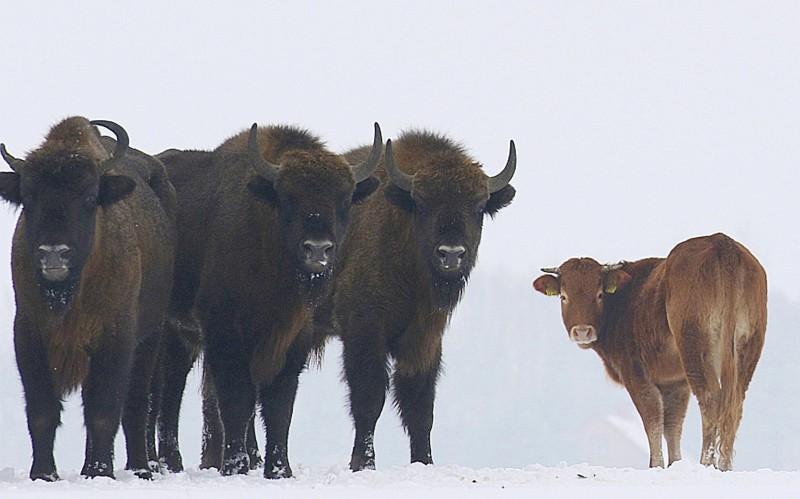 Польская корова сбежала от забоя к зубрам