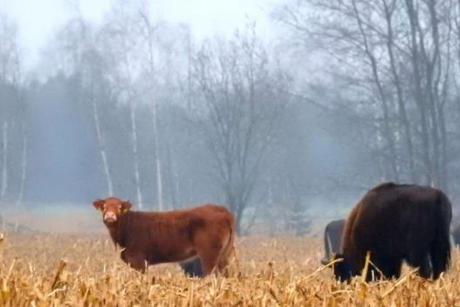 Польская корова сбежала от забоя к зубрам Польская корова сбежала от забоя к зубрам 2 26