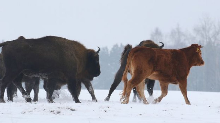 Польская корова сбежала от забоя к зубрам Польская корова сбежала от забоя к зубрам 3 25