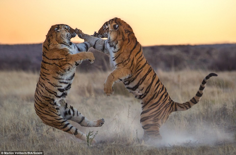 Битва за любовь: фотограф поймал в объектив сражение тигров в Южной Африке