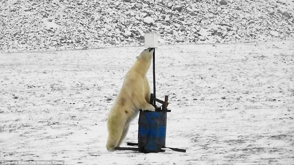 Белый медведь случайно сделал селфи  (видео)