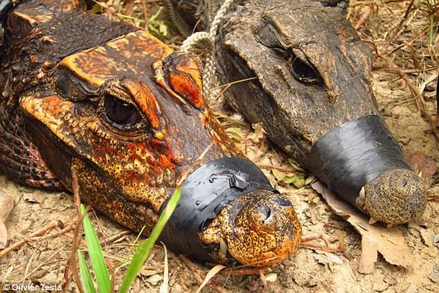 В пещерах Африки обитают редкие оранжевые крокодилы