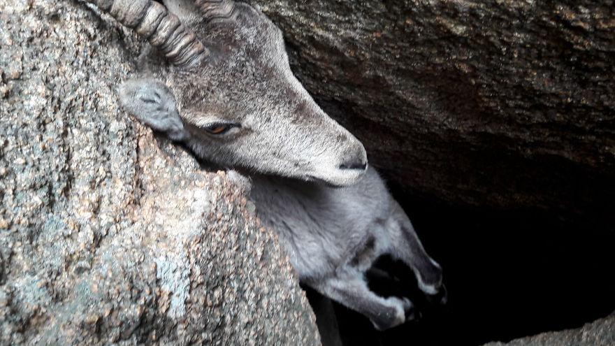 Операция по спасению горного козла (видео)