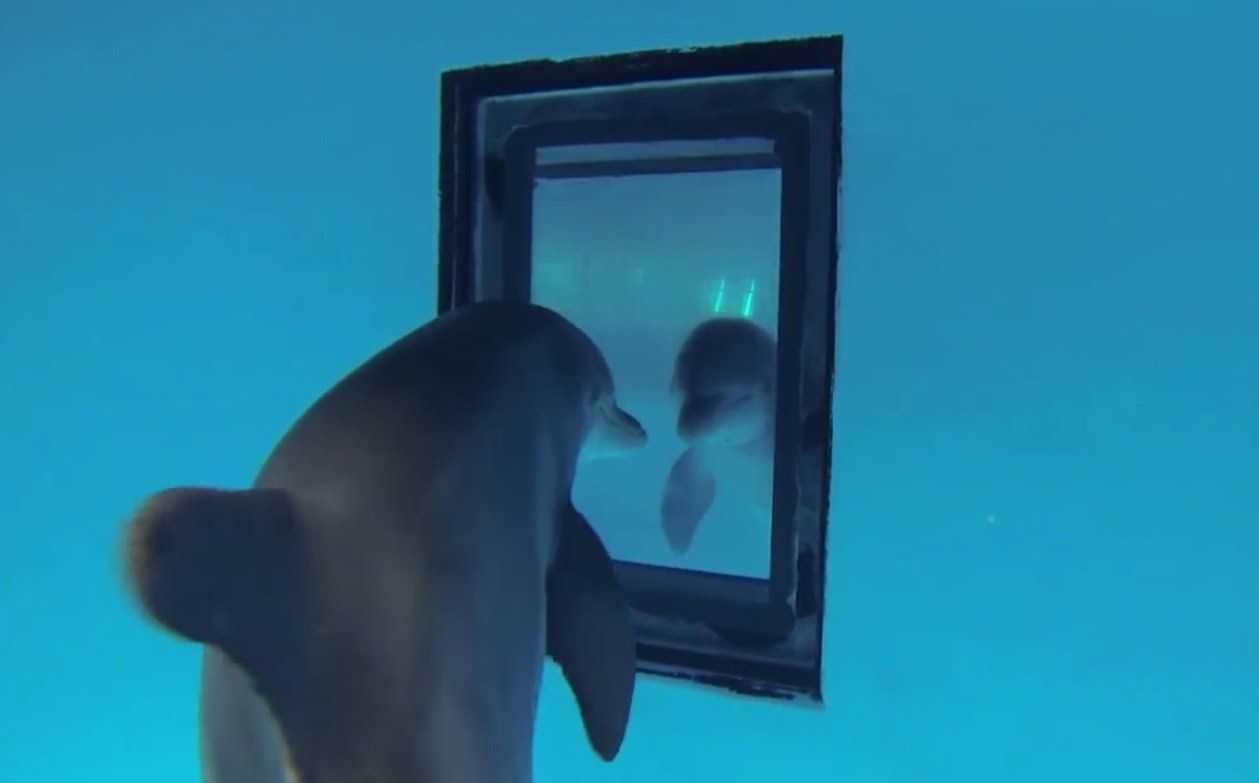 Дельфины узнают себя в зеркале раньше людей