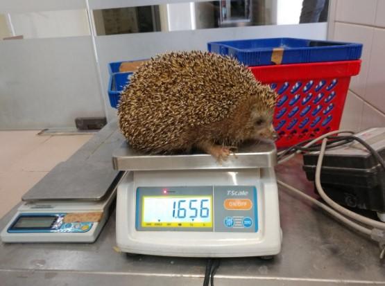 В израильском зоопарке лечат от ожирения ежа
