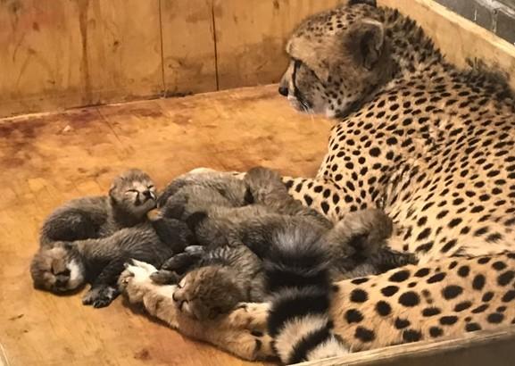 В американском зоопарке родилось рекордное количество гепардов