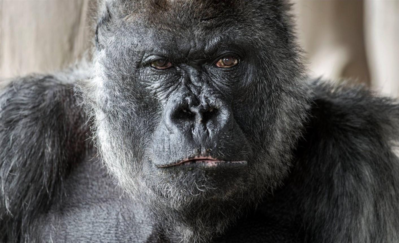 В Британии умерла старейшая горилла в мире