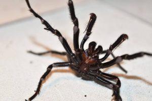 В Австралии сняли на видео рождение опасных пауков