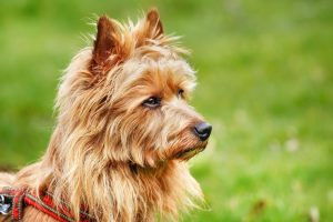 Автостопом по Австралии: пес проехал 1500 км, чтобы догнать хозяев