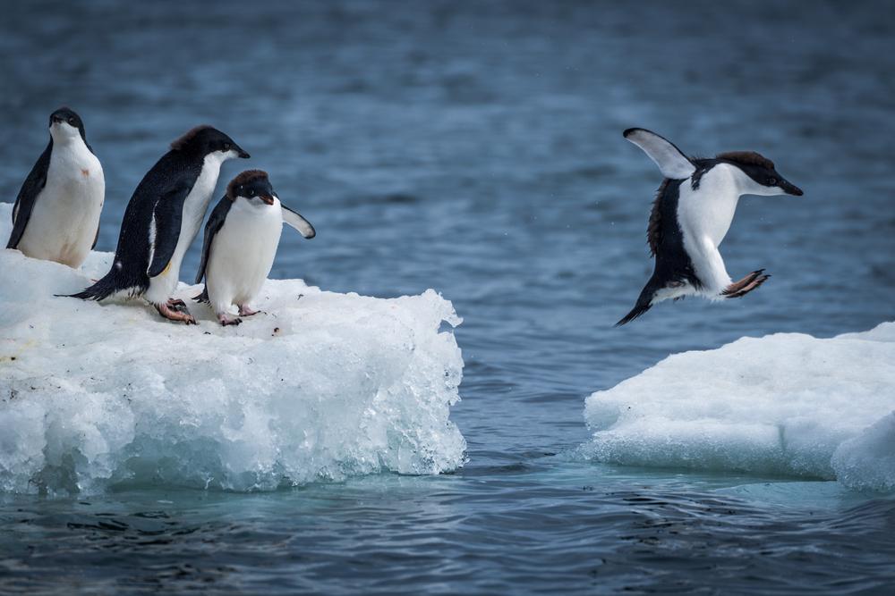 В Канаде от арктических морозов спасают пингвинов