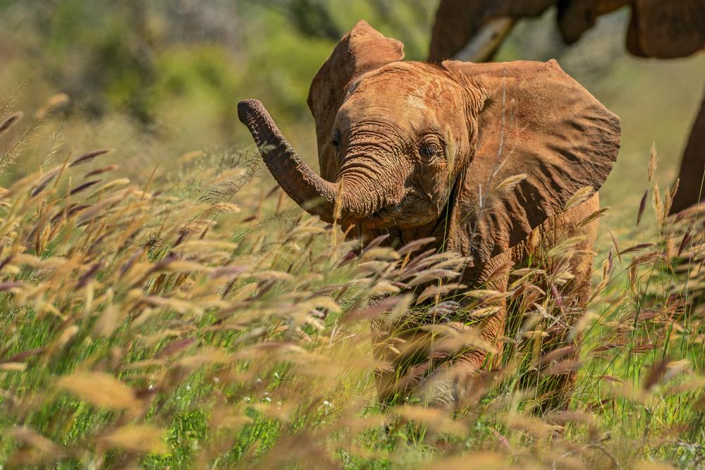 Слониха схватилась со львом за слоненка
