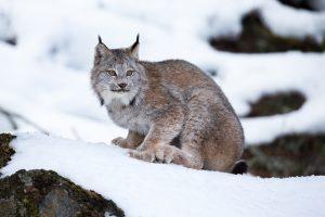 Исчезающей канадской рыси отказано в защите