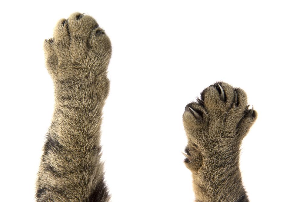 Среди кошек нашли «правшей» и «левшей»