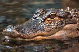 В Петербурге крокодил охранял дом