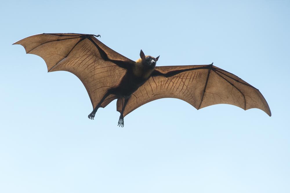 В Новой Зеландии нашли гигантскую летучую мышь, ровесницу динозавров