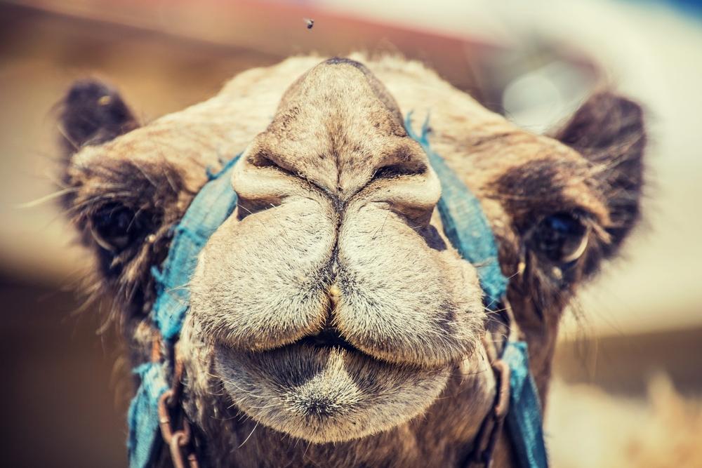 Участников верблюжьего конкурса красоты отстранили за ботокс