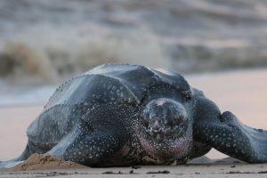 Исчезающую морскую черепаху разрешат вылавливать в США