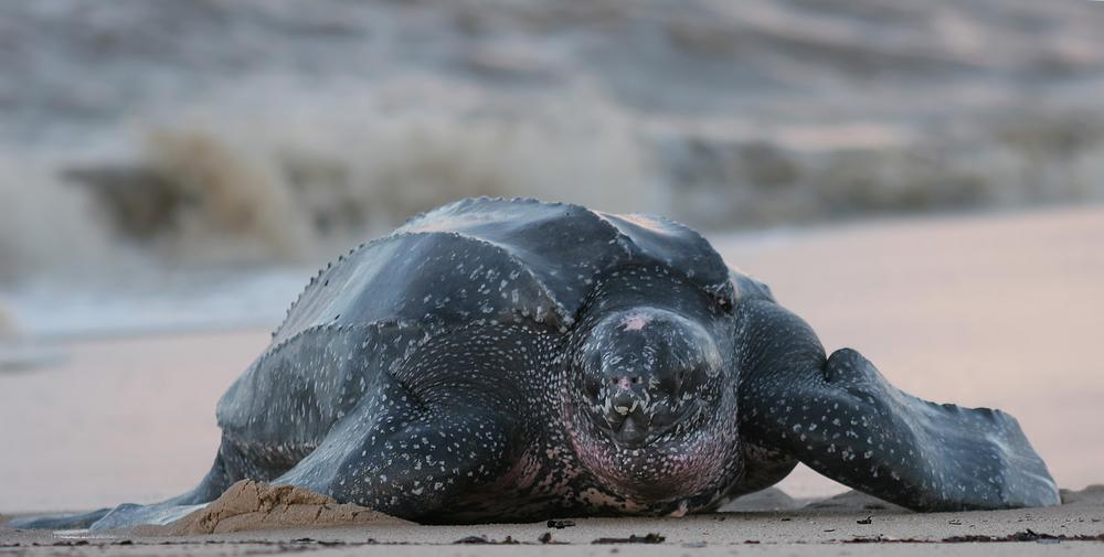 Исчезающую морскую черепаху разрешат вылавливать в США.Вокруг Света. Украина