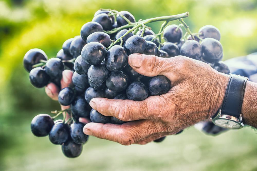 В Украине появится праздник виноделов