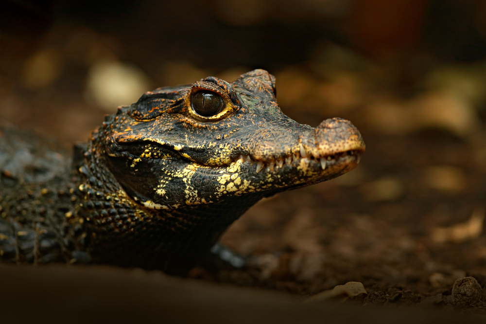 В пещерах Африки обитают редкие оранжевые крокодилы В пещерах Африки обитают редкие оранжевые крокодилы shutterstock 718561777