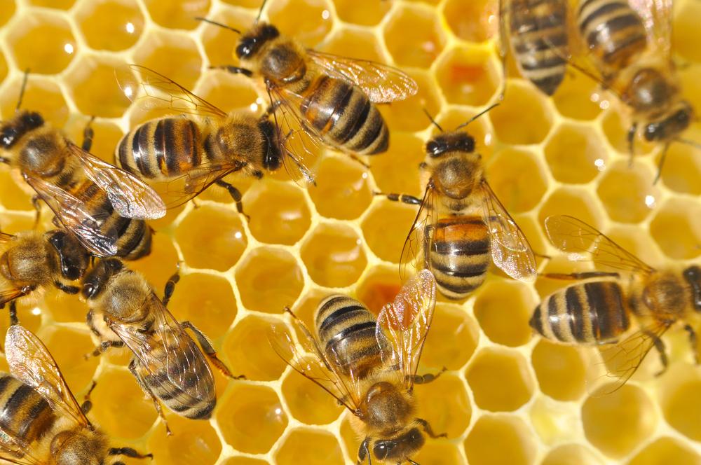 Зачем пчелы делают мед? Зачем пчелы делают мед? shutterstock 746769988