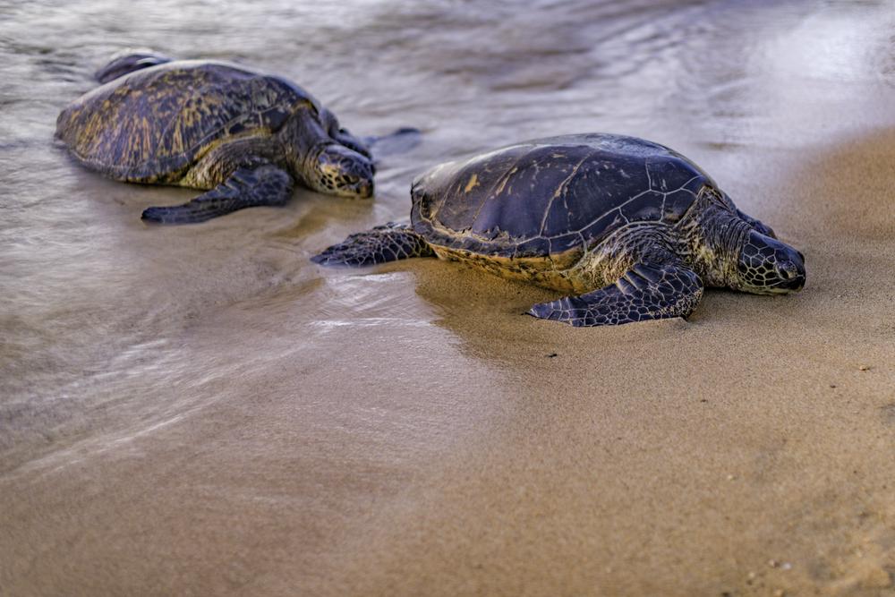 Морские черепахи теряют самцов из-за глобального потепления