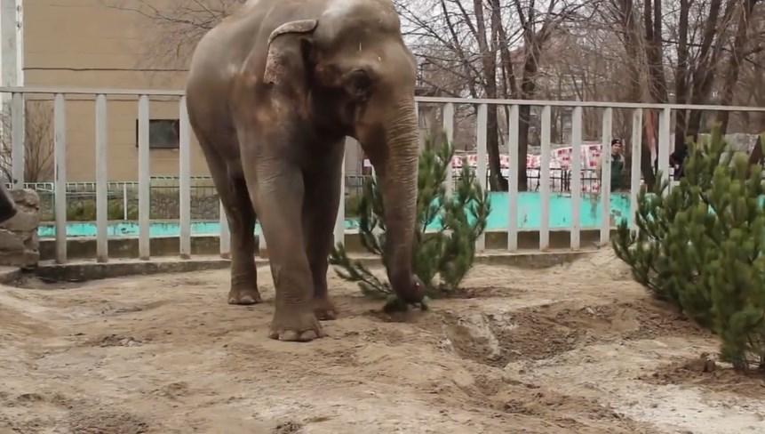 Слон и елка: правильная утилизация деревьев.Вокруг Света. Украина