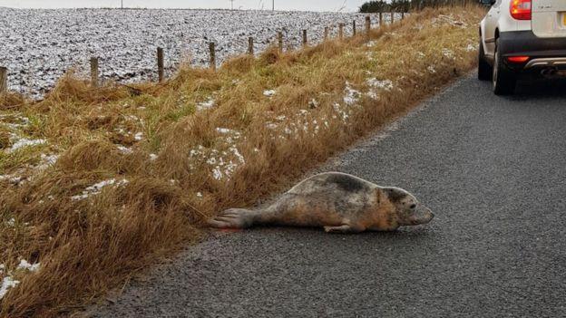 В Шотландии тюлень голосовал на дороге