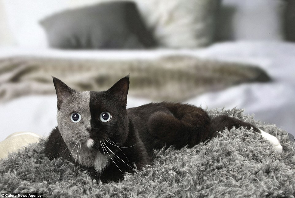 Во Франции живет кот-химера