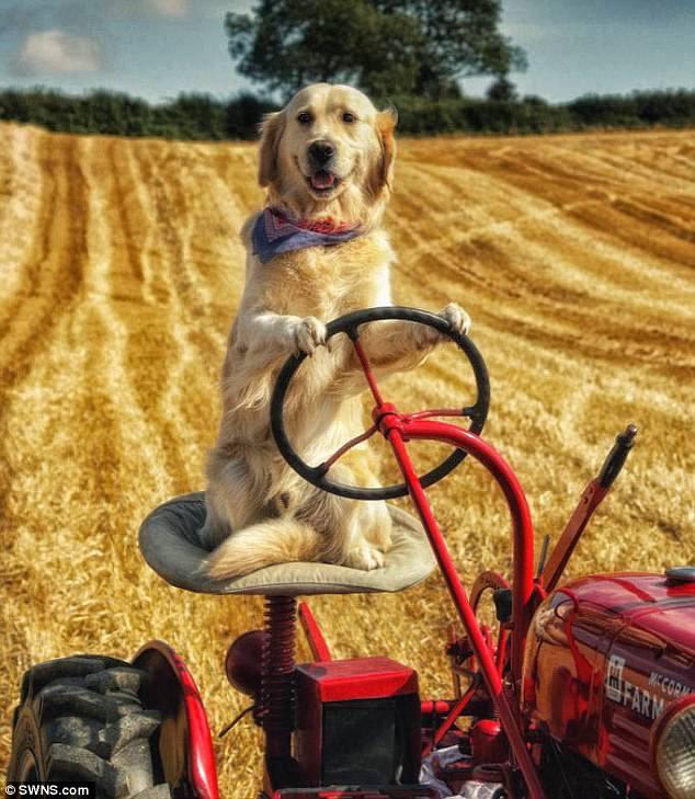 Ирландец научил собаку управлять трактором.Вокруг Света. Украина