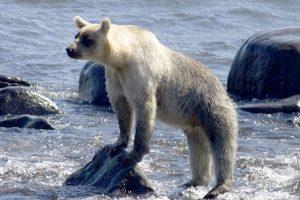 На Курильских островах поседели медведи