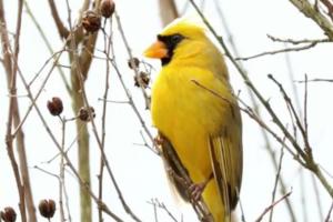 В США нашли редчайшего желтого кардинала