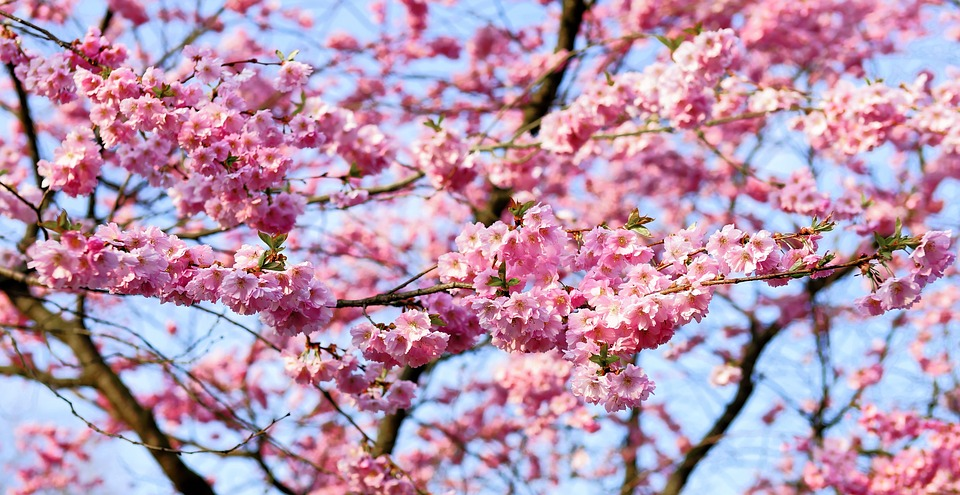 Японцы рассказали, когда в этом году зацветет сакура