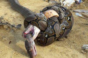 Смертельная схватка: питон и кобра убили друг друга