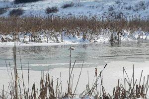 Под Житомиром лебедя освободили из ледяной ловушки