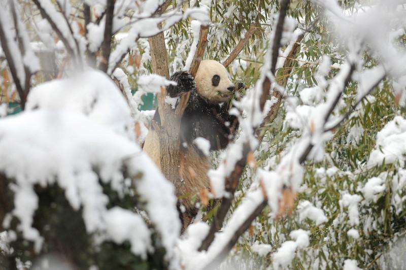 Китайские панды играют в снегу Финляндии (видео)