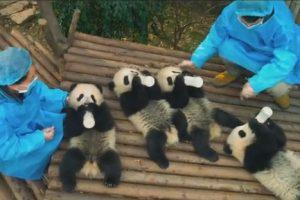 На IMAX-экранах  покажут фильм о жизни панд