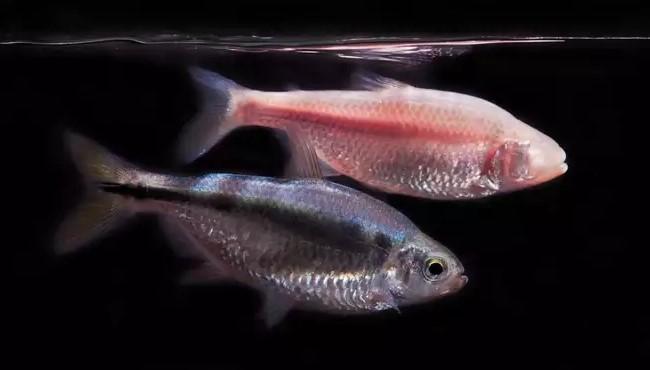 Рыбки помогут спасти человечество от недосыпа