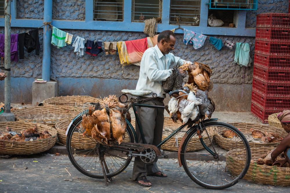 Индийские куры могут погубить человечество