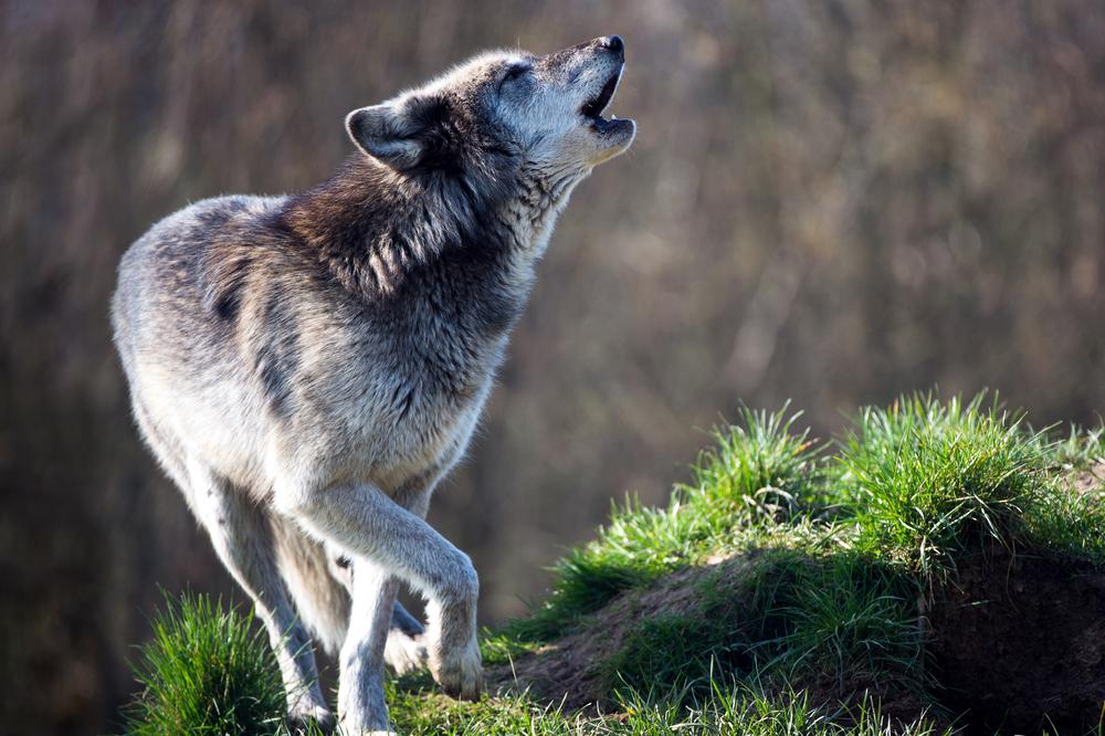 Во Франции будут разводить волков