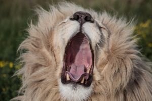 В Африке львы съели браконьера