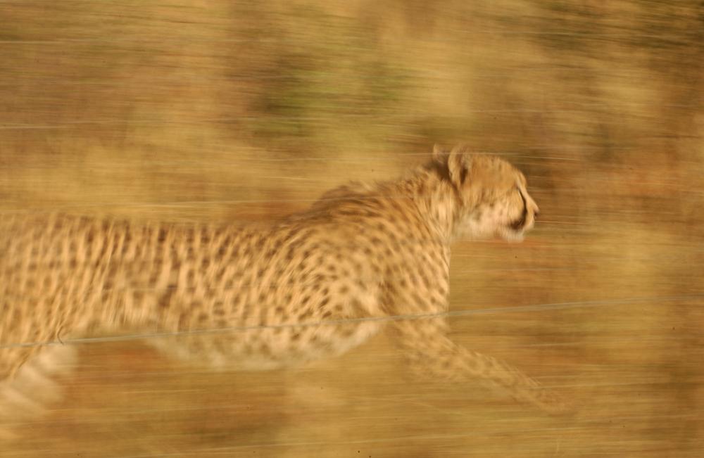 Ученые раскрыли секрет скорости гепарда